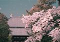 日月潭边赏樱花